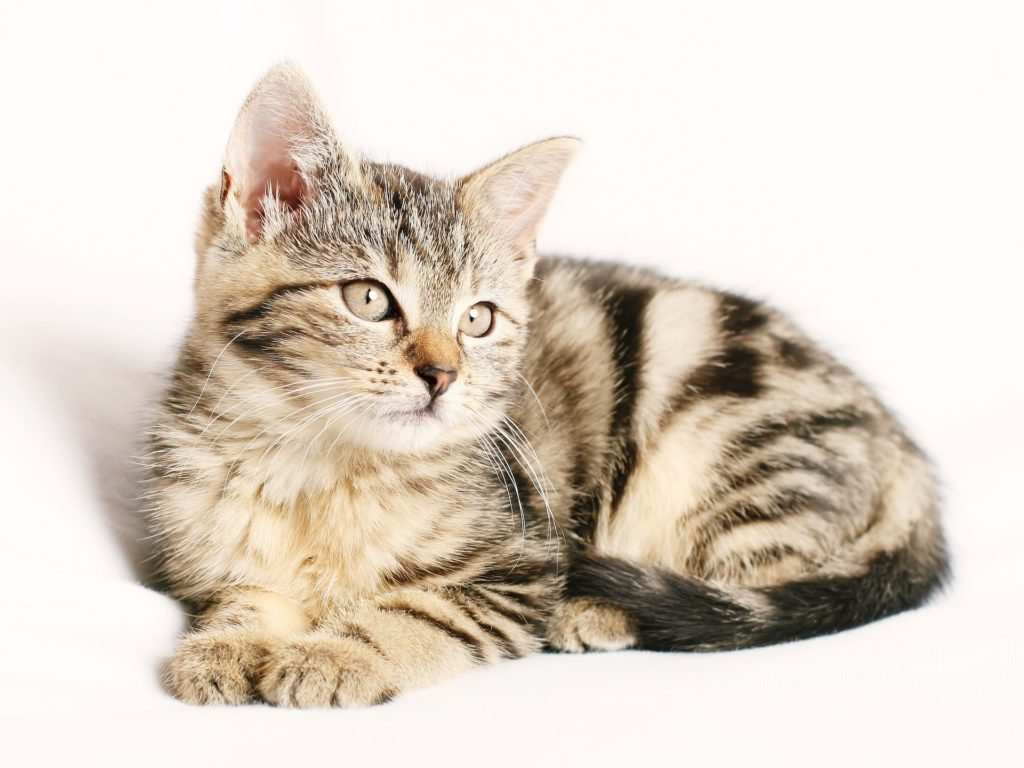 Tier Fotoshooting mit junger Katze auf weißem Hintergrund