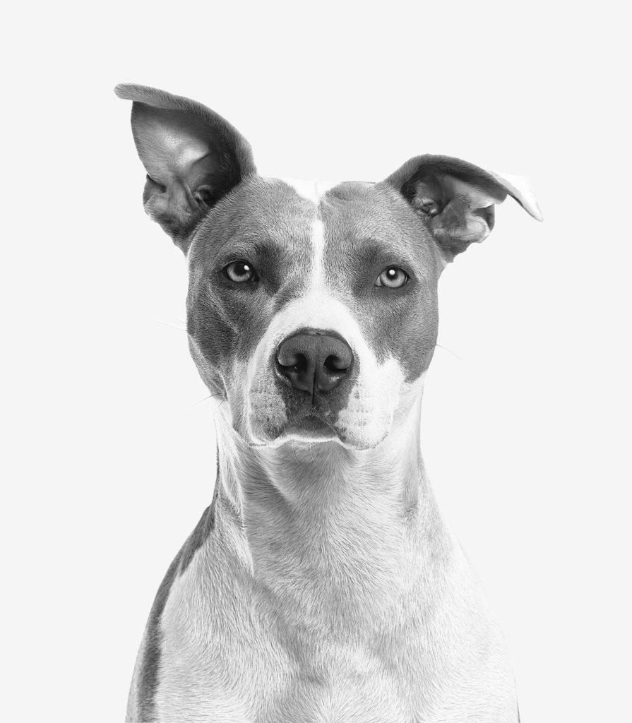 Tierfoto eines Hundes, der aufmerksam in die Kamera blickt